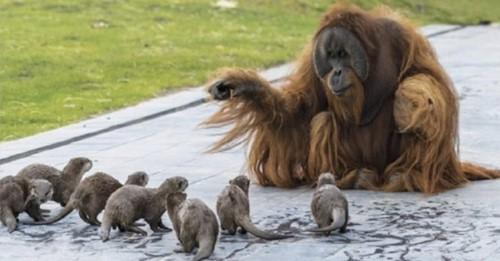 Zoológico comparte fotos de sus orangutanes jugando con pequeñas nutrias