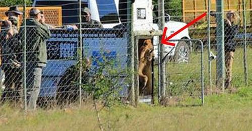 Una pareja de leones de circo da los primeros pasos en su nuevo hogar