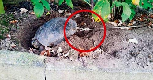 Le perforan el caparazón a una tortuga para atarla y se van de vacaciones