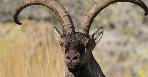 La cabra montesa, a punto de morir de éxito en España