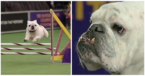 Adorable bulldog inglés regordete se hace viral con su comportamiento en una competencia canina