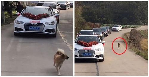 No fue invitado a la boda de su dueña pero él la persiguió por 9 km para mostrarle su amor