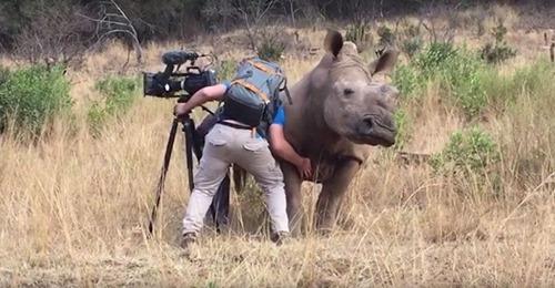 Rascando a un rinoceronte salvaje