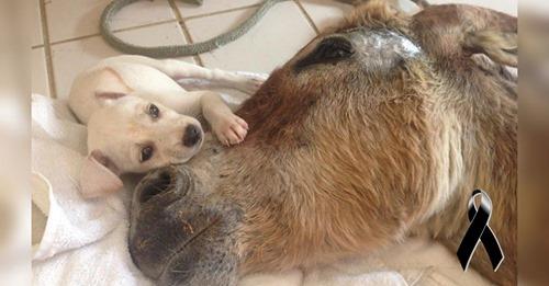 Un burrito atropellado y moribundo encuentra consuelo en un pequeño perrito