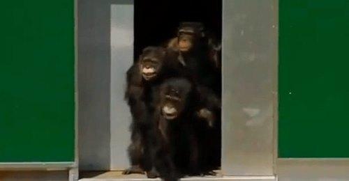 Emotiva reacción de unos chimpancés tras ser liberados después de 30 años viviendo en jaulas