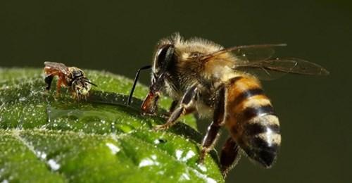 'Leche' de almendras: un negocio que está matando a miles de millones de abejas
