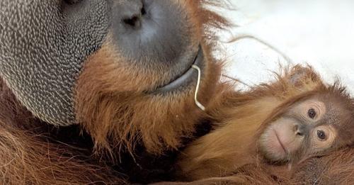 Muere la madre de una cría de orangután y su padre se encarga de ella