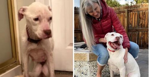 Una perrita pitbull de bajo peso es hallada en una casa abandonada y ahora está fuera de peligro