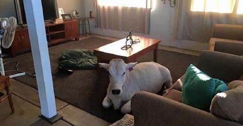 Vaca se cree un perro más de la familia y espera en la sala hasta que sus dueños regresen a casa