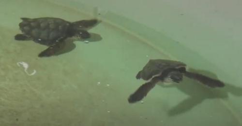 Dos tortugas españolas se reencuentran después de 7 meses separadas